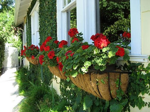 window planters with red geraniums