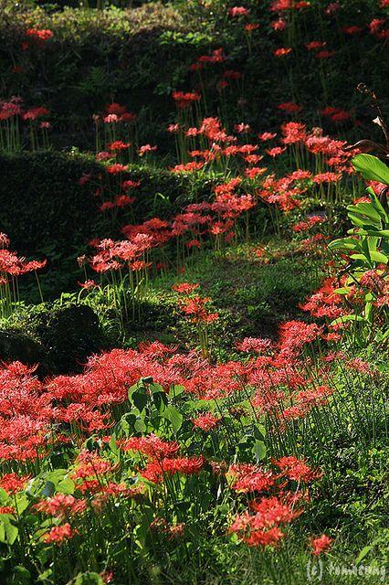 Lycoris radiata (red spider lily, red magic lily) , Yamaga city, Kumamoto, Japan