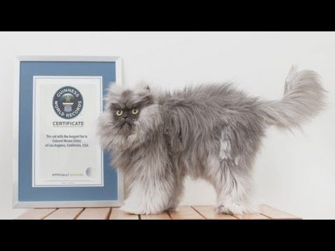 "VIDEO:  Furry cat breaks world record: ""Colonel Meow"" has the Longest Fur on a Cat,  Guinness World Records 2014 -  posted by ODN on YouTube (2 min.)"