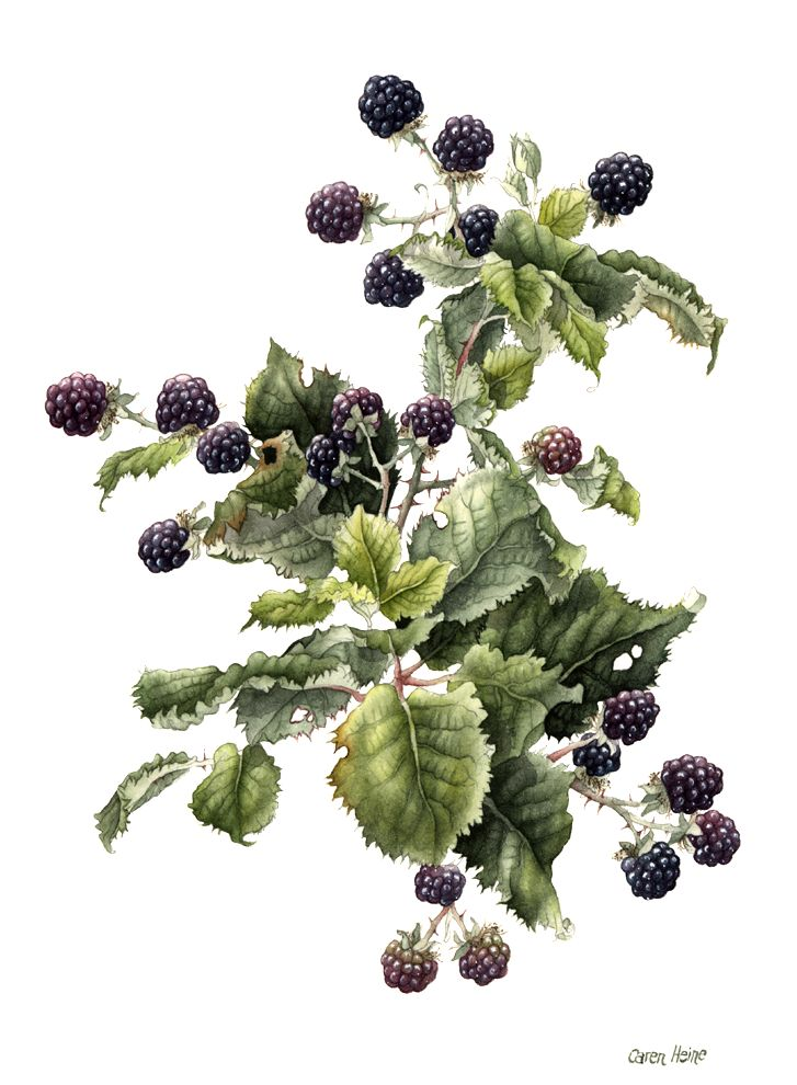 Caren Heine - Blackcaps or Black raspberries I believe these are. Loved picking these as a child with my Dad and my sister.