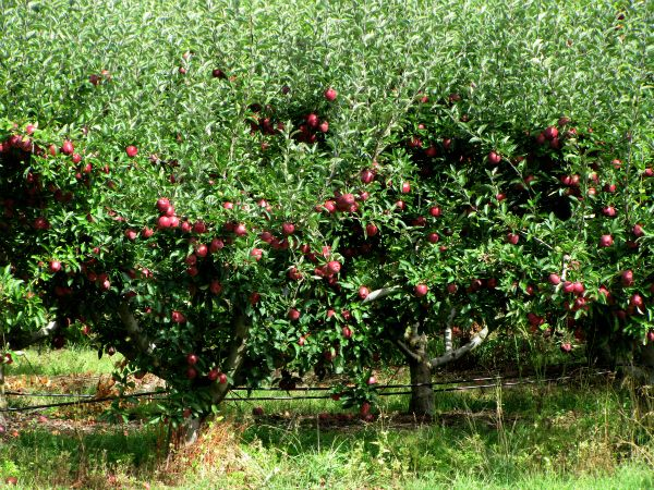 #Apples on the trees, Huon Valley orchards, #Tasmania. Article and photo for www.think-tasmania.com