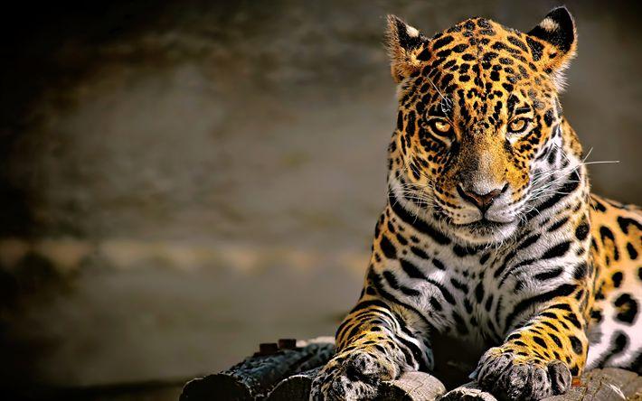 Download wallpapers leopard, 4k, Panthera pardus, predators, wildlife