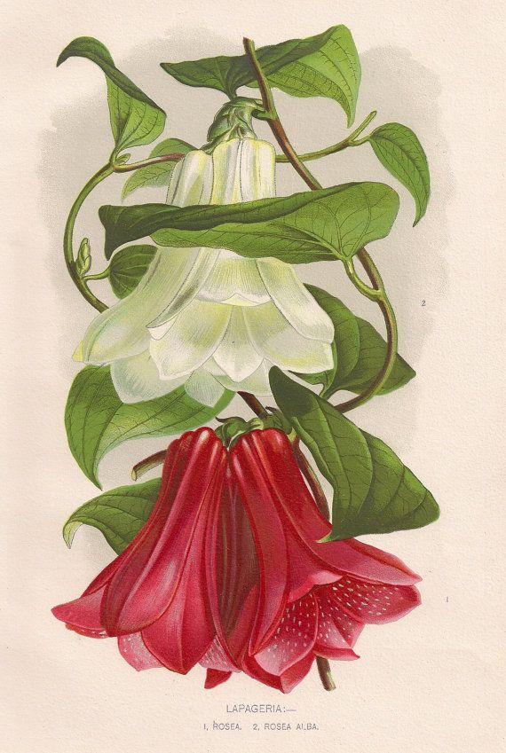 Original Victorian Chromolithograph Lapageria  by DevonArcadia