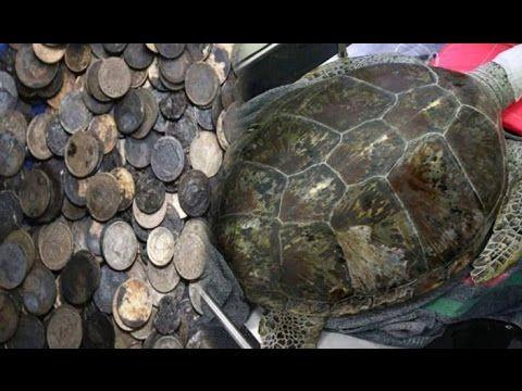 कछुए के पेट से निकले 915 सिक्के, हैरान रह गए डॉक्टर्स