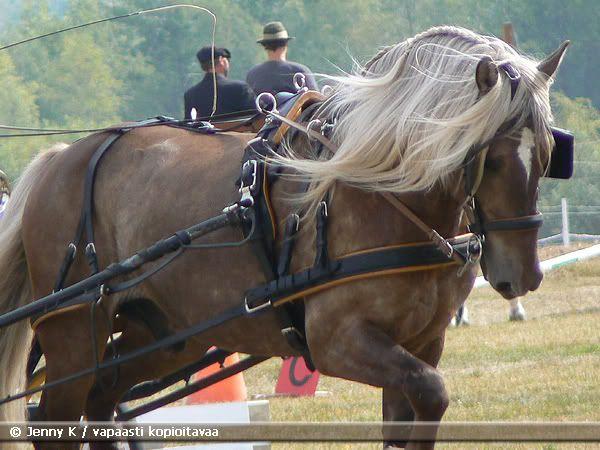 finnish horse: finnish horse