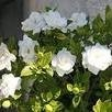 ROBs RARE and GIANT seeds - * DWARF JASMINE GARDENIA BUSH* 5 seeds*FRAGRANT!!