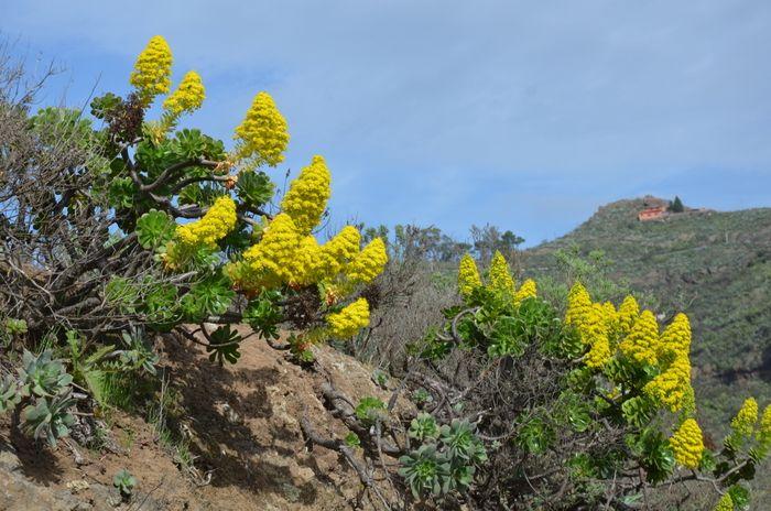 Aeonium arboreum, une fleur originale, endémique des Iles Canaries