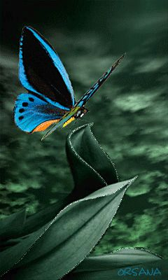 """Beautiful Butterfly   *~  gif ~*  """"Perhaps the butterfly is proof that you can go  through a great deal of darkness yet become something beautiful!"""