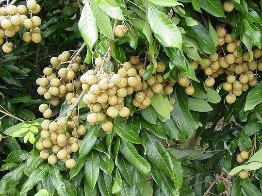 """Nome científico: Euphoria longana Nativa do sul da Ásia, é uma árvore tropical que produz frutos comestíveis cujo aspecto é o significado chinês da palavra longan: """"Olho de Dragão"""". Árvore de grande porte, pode alcançar até 10m de altura, mas através de podas pode ficar mais ao alcance das mãos, como as mangueiras. As folhas são verde-escuro e as inflorescências surgem nos ramos jovens em muitas flores brancas. O fruto arredondado possui casca quebradiça que envolve a bela polpa bra..."""