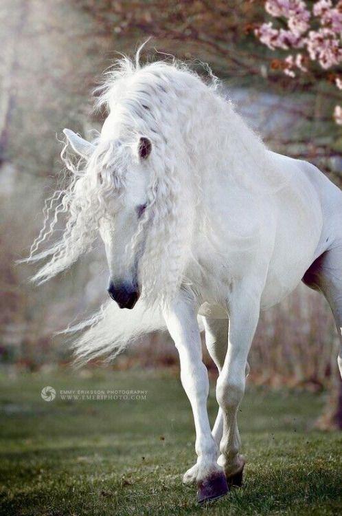 Amazing white horse with long wavy white mane. fruityandbelle: Fairy horse (via miamivice88)
