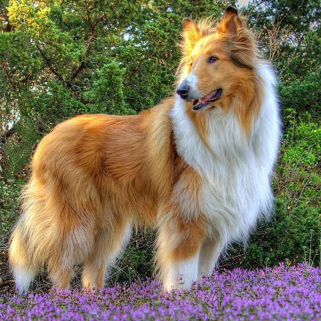 Sable and White Rough Collie