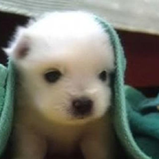 Dog That Looks Like A Polar Bear
