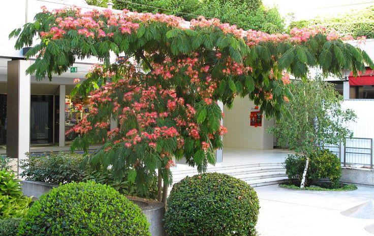 adelaparvu.com despre arborele de matase, Albizia julibrissin, text Carli Marian (1)