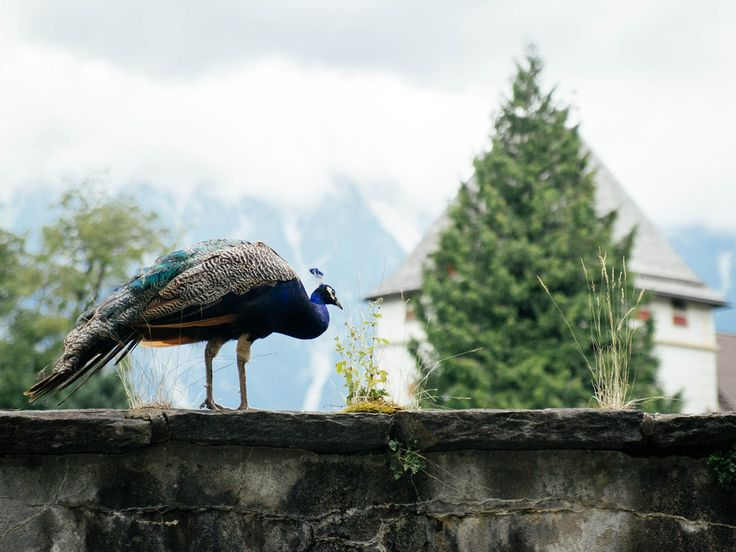 Picture of a peacock sitting on a wall in Austria