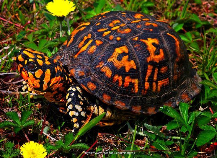 The Common Box Turtle                                                                                                                                                                                 More