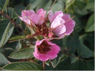 Rosa villosa - Apfelrose - Strauchpflanze 3,50 EUR