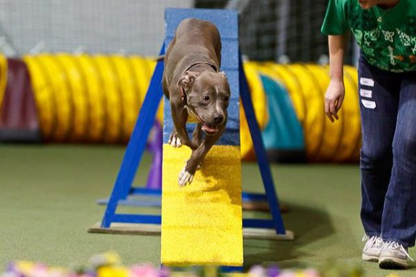 Does Your Dog Participate in Agility or Other Athletic Events? So many of you do agility and say that is not only makes your dog more confident, but it is an amazing bonding experience. So both you and your dog are exercising, having fun together and strengthening your incredible bond with your best friend.
