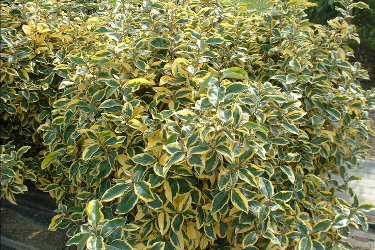 ELAEAGNUS ebbingei 'Gilt Edge' - Plantes extérieures