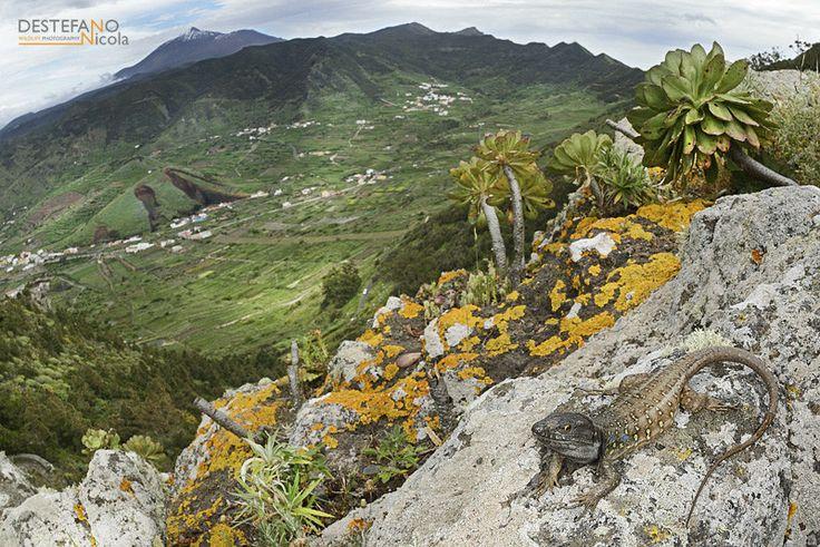 Northern Tenerife Lizard