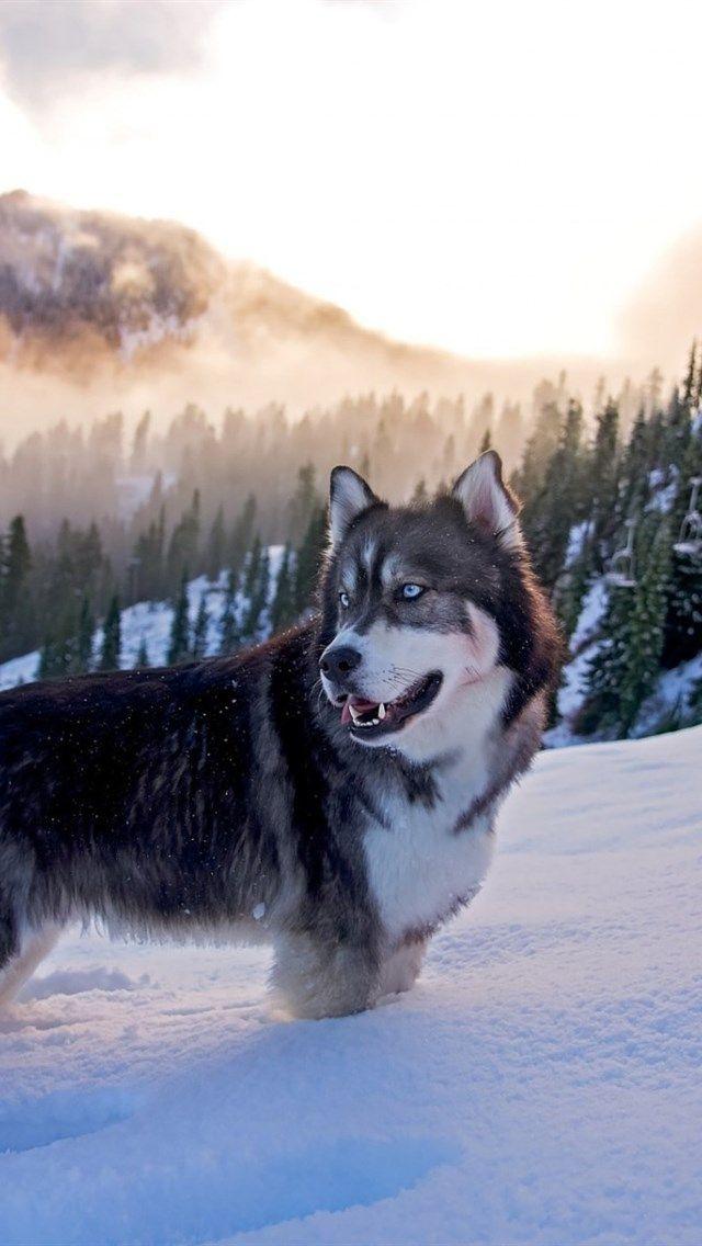 Alaskan Malamute Winter Snow Mountains Sunset Dogs Husky