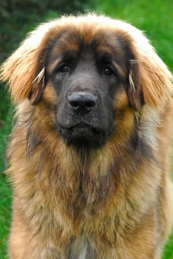 Close up head shot - A brown with black Leonberger is standing in grass and looking
