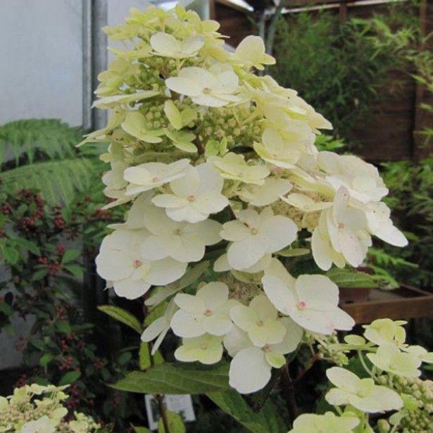 Hortensia - Hydrangea paniculata Unique H300 cm F 07/10