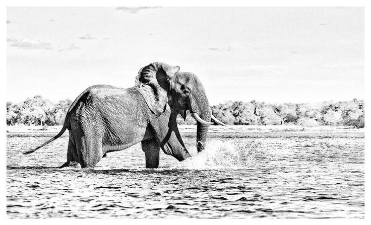 B&W print of a bull elephant on the Zambezi river