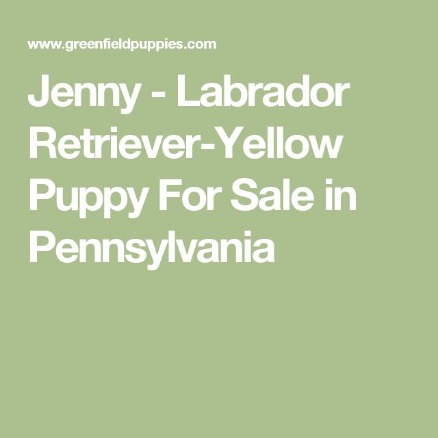 Jenny - Labrador Retriever-Yellow Puppy For Sale in Pennsylvania