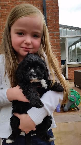 We have two beautiful black Cavapoo boys looking for their forever homes. Both have white markings and long shaggy coats, they will be approx. 12 inches to the shoulder and are bouncy, confident little puppies. They are 9 weeks of age and have received their 1st vaccination, full vet health check and microchip. We also …
