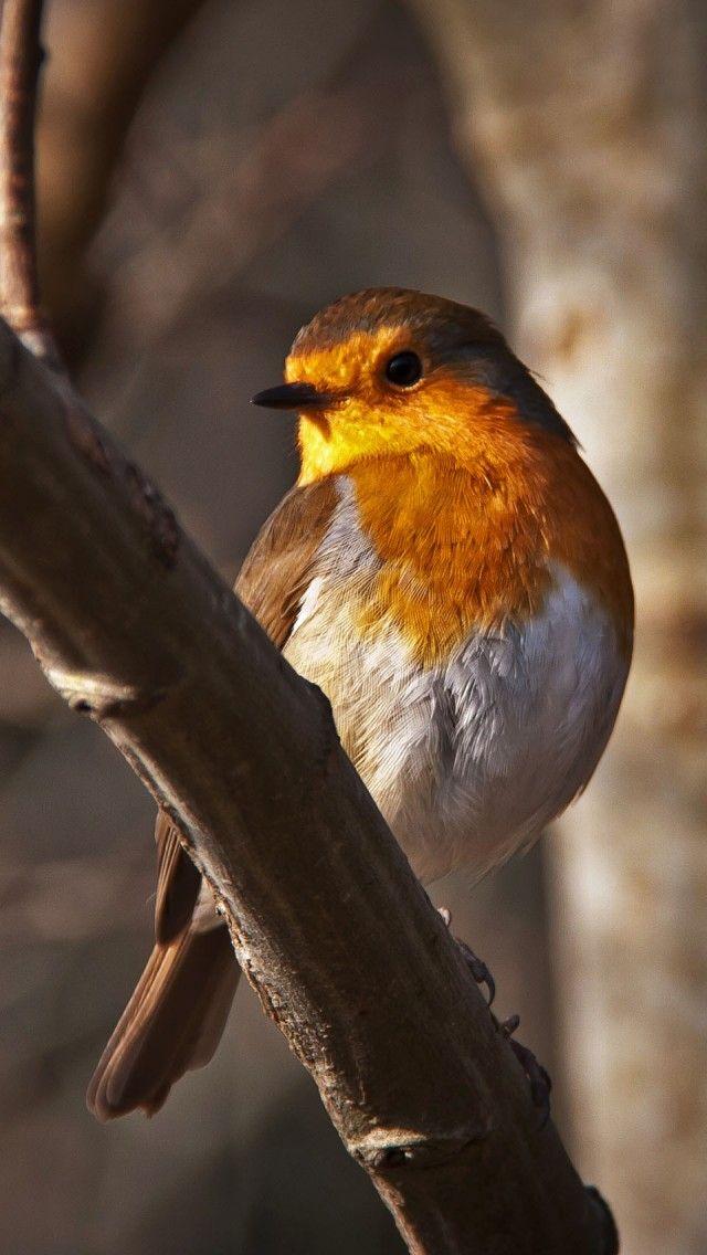 Roodborst - European Robin