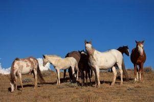 Comment apprivoiser un cheval sauvage