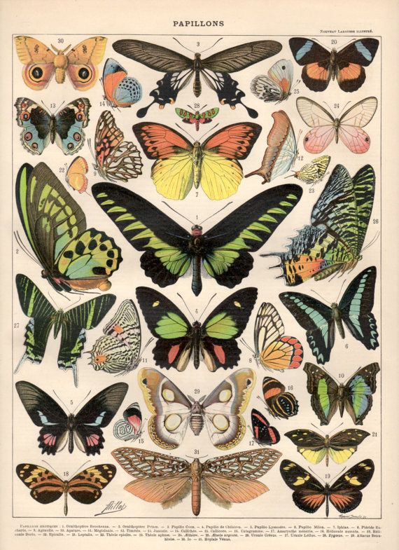 Colorful Butterflies, 1897 Antique Print, Vintage Lithograph, Lepidoptera Print, Butterfly Illustration, Papillon, Electric-green Birdwing
