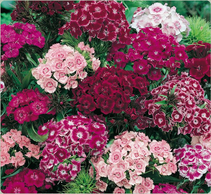 I love Sweet William flowers. I started mine from seeds that were taken from my husbands great grandmothers flower garden. The antique seeds (over a hundred years old) grew beautifully!