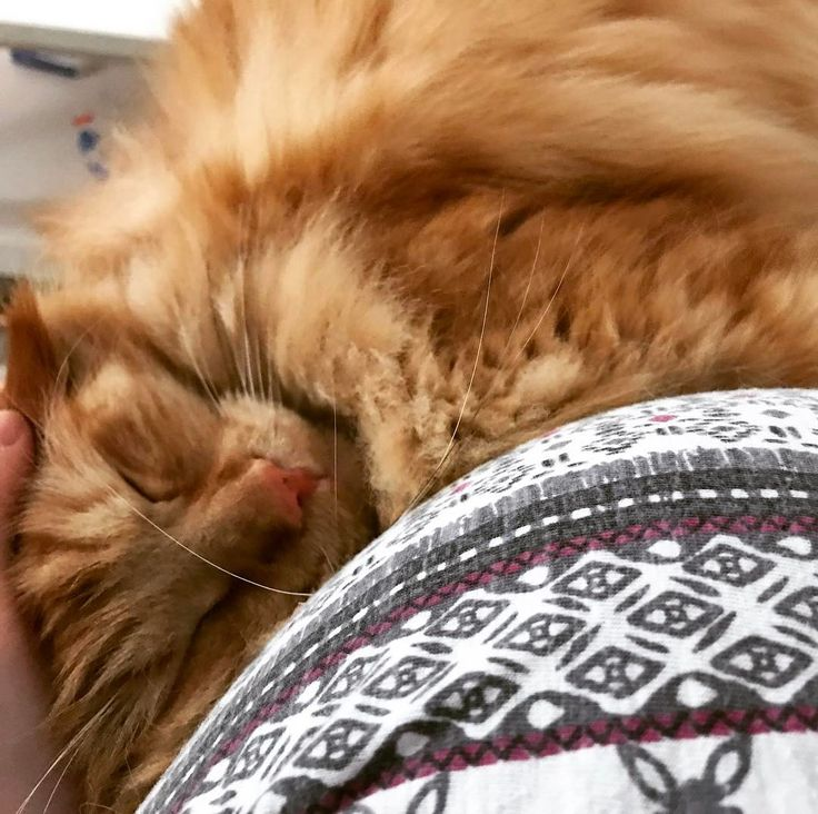 Katze an #Babybauch.  Loki geht es mit seiner Blasenentzündung schon viel besser. Dank Tabletten und Schmerzsaft ist er wieder sehr entspannt und schmerzfrei. Zum Glück. Leider ist es bei ihm stressbedingt laut Tierärztin. Wenn es nochmal vorkommt sollen Medis Futterumstellung und Wohlfühlspray folgen. Ich weiß noch nicht ob das der beste Weg für unseren #mainecoon Kater ist. :( Hat jemand Erfahrung damit? #catcontent #cat #krank #schwanger #33ssw #babybump #9monat #kater #katze