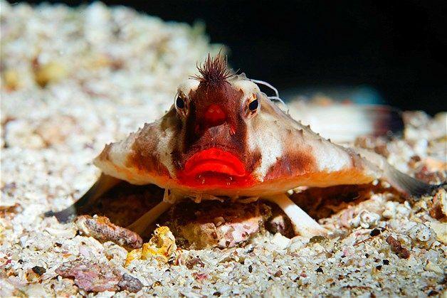 Image: Le poisson chauve-souris à lèvres rouges (© imagebroker/Alamy)