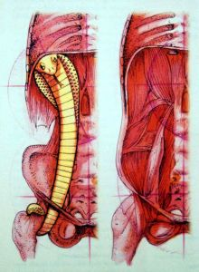 Our inner cobra is made up of the psoas major muscle and the diaphragm considered together as a functional unit. While these are often depicted as separate in the anatomy books, in the dissection lab the fascial connections are very clear between the diaphragm and the psoas major.