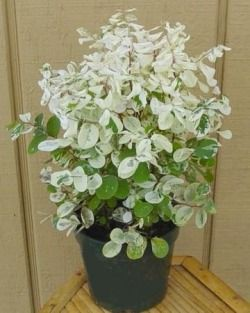 Snow Bush makes a unique, colorful tropical house plant. Find out how to care for Breynia nivosa indoors. Get light, watering, fertilizing and pruning tips for Snowbush plant.