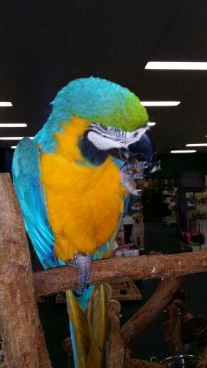 Blue macaw.