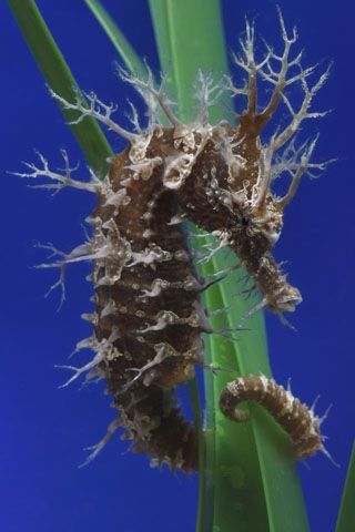 Google Image Result for http://www.montereybayaquarium.org/efc/efc_seahorse/content/images/main_seahorse/lg/Lined_seahorse.jpg
