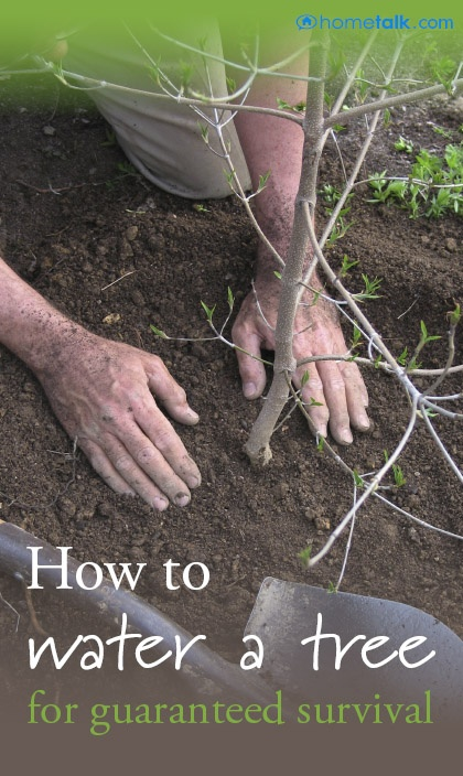 How to water a tree for its guaranteed survival!
