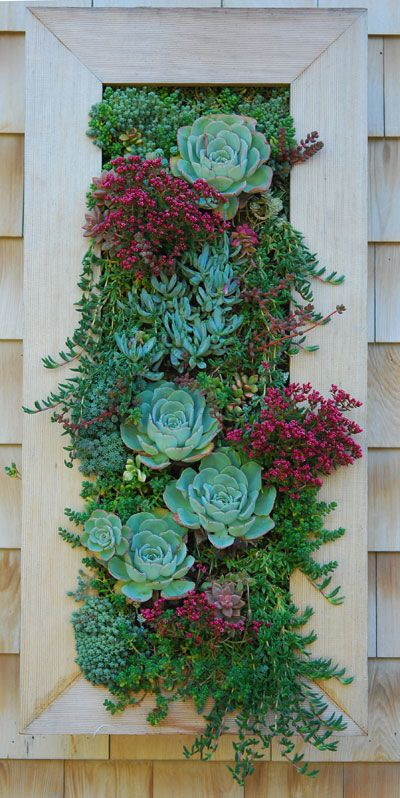 The vertical garden - Crassula schmidtii and Echeveria 'Atlantis'