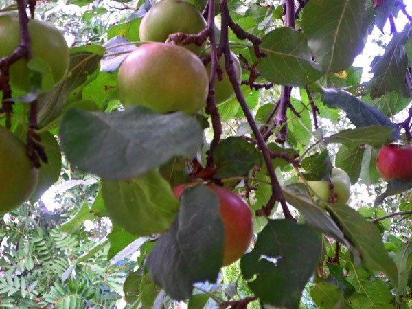 domowy ocet jabłkowy  i do czego służy