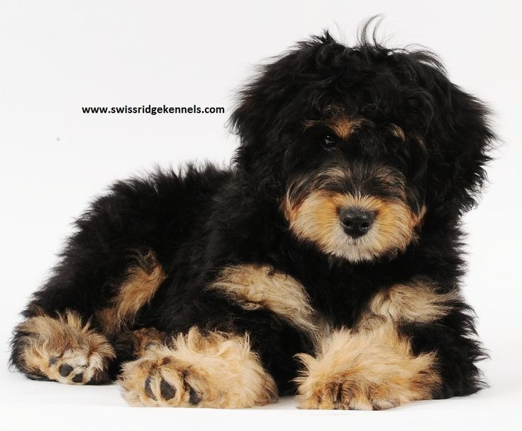 mini bernedoodle @Carthy Patrick.... See!! they do exist. I will have one. This is it. This is the dog!