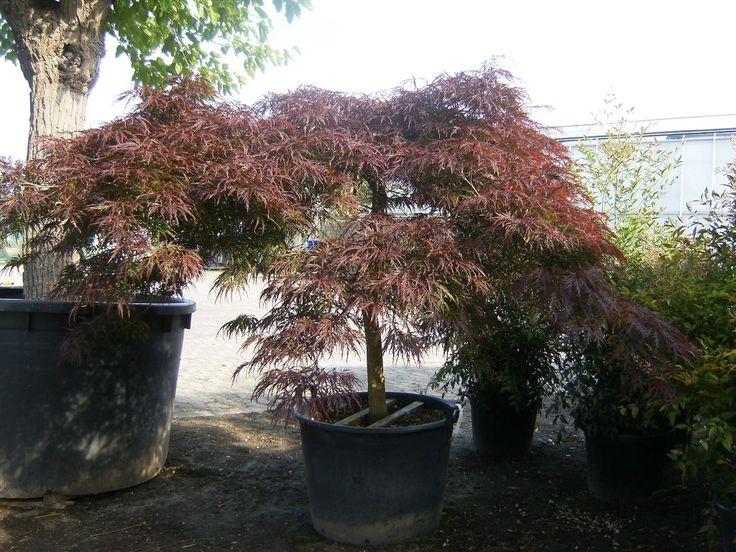 13 best images about Verschillende soorten Acers on ...