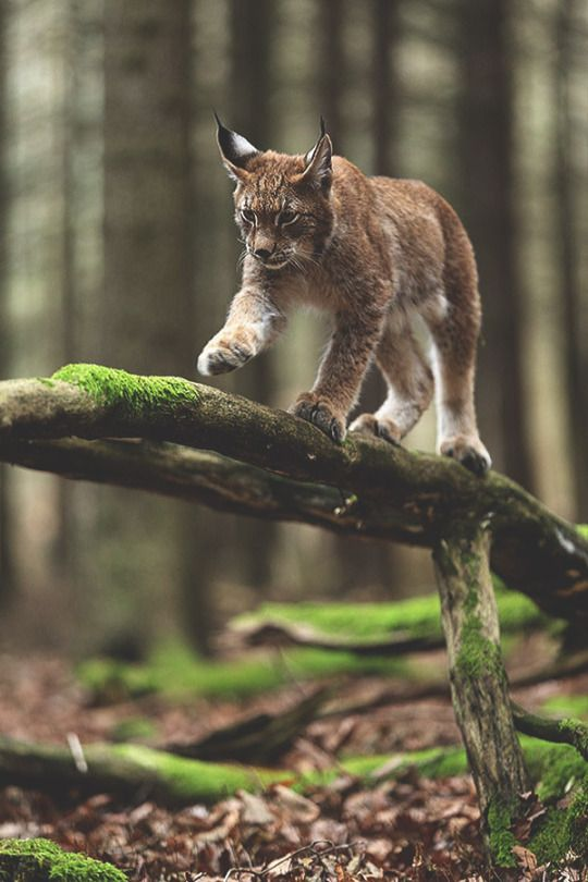 Lovely lynx out in the beautiful old forest as it should be! Such beautiful cats, lynx. - sesilia-ilves
