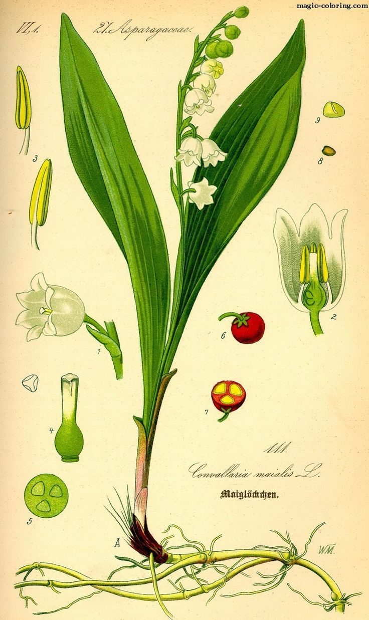 MAGIC-COLORING   Lily of the Valley (Convallaria majalis) template