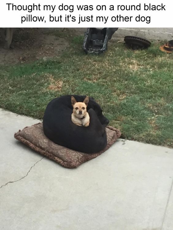 Funny Small Dogs Make Big Dog His Pillow