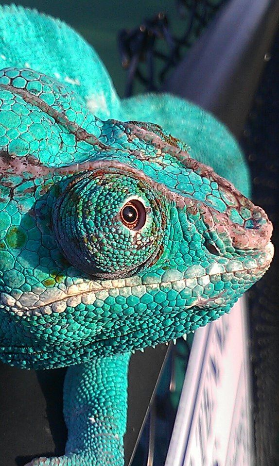 This is Naira, my Panther Chameleon. He is my little piece of Madagascar :)