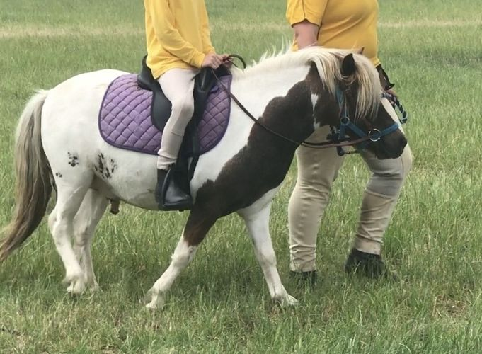 Been to pony club rallies, along roadsides, ridden on and off lead by a nervous total beginner. Rider has outgrown. Will consider a swap for bigger 12hh pony.