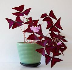 A red shamrock plant makes an ideal house plant for fall.